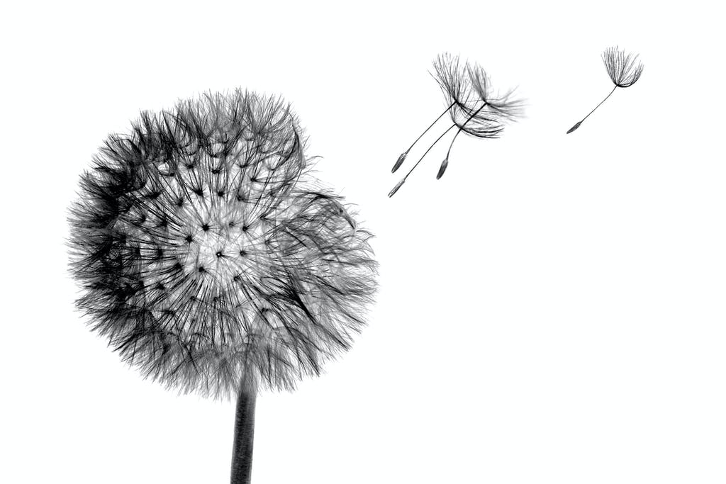 Black and white dandelion head with seeds flying in the wind